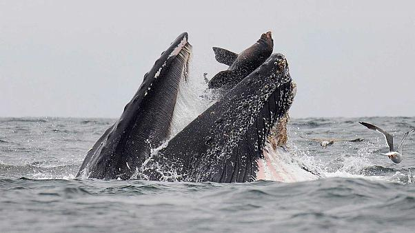 Incroyable cliché d'un lion de mer tombant dans le gueule d'une baleine