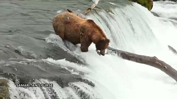 شاهد: دب ينجح في اصطياد سمكة سلمون في شلال نهر بروكس بألاسكا