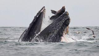 La foto della balena che quasi si mangia un leone marino