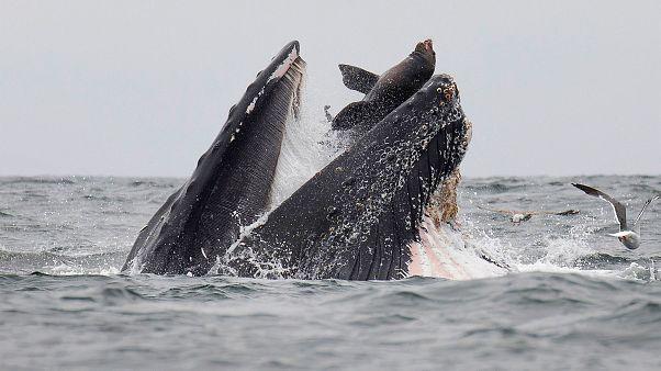 El impactante momento en que un león marino cae en las fauces de una ballena