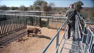 Nesli tükenmekte olan kara gergedan 'Goose'u kurtarmak için Kruger Milli Parkı seferber oldu
