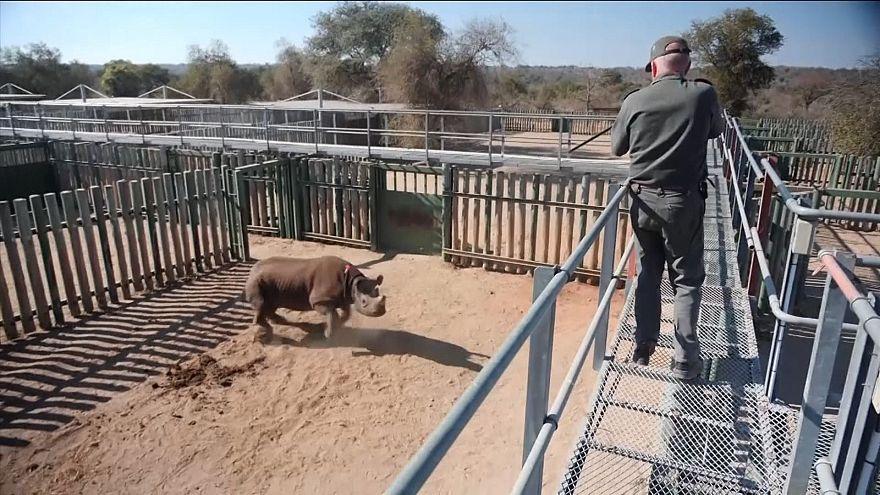 Sudafrica: sta meglio Goose, il rinoceronte nero salvato dai ranger