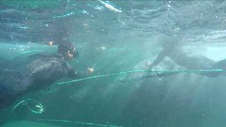 Egy nap alatt két bálnát is megmentettek a perui turisták