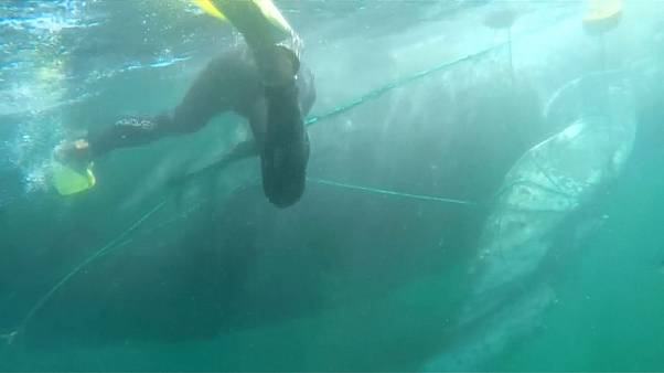 Divers and volunteers help to save humpback whale off Peru's coast