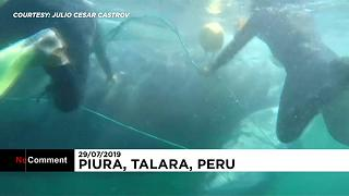 Búvárok mentettek meg egy bálnát a biztos haláltól Peruban