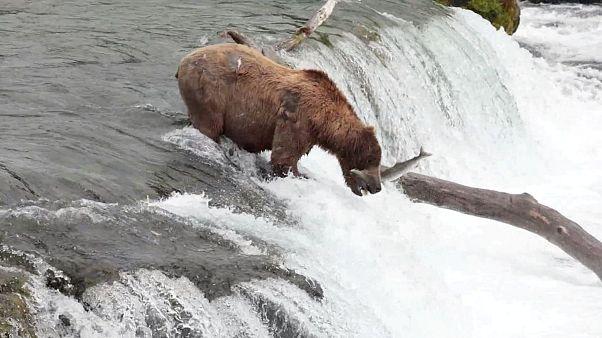خرس قهوهای ماهی «پرنده» را در هوا شکار میکند