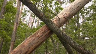 Deutscher Wald: 120.000 Hektar tot oder geschädigt