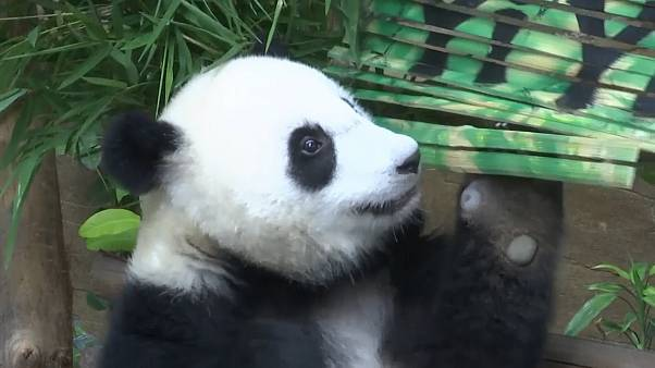 """أنثى الباندا """"يي يي"""" التي تبلغ من العمر 19 شهرا"""