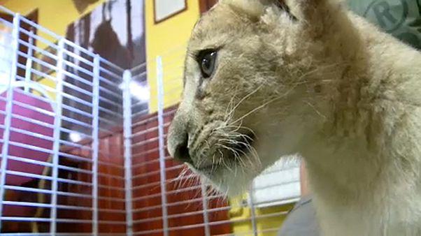 Cirkuszi oroszlánok a Veresegyházi Medveotthonban