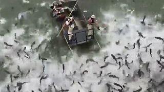 صید و کنترل جمعیت ماهی کپور آسیایی در کنتاکی با «شوک الکتریکی»