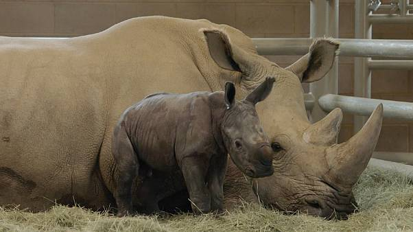 Southern white rhino birth could save subspecies from extinction
