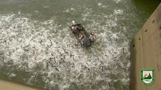 Elektroschocks für Fische