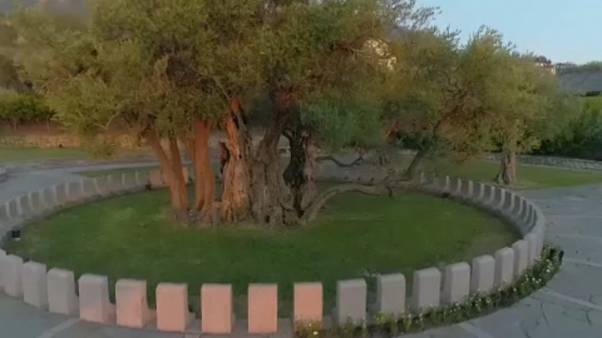 Μαυροβούνιο: Η «ιερή» ελιά