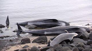 Islande : échouage à répétition de baleines-pilotes