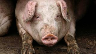 Sow row as Bulgaria accuses Romanian tourists over African Swine Fever
