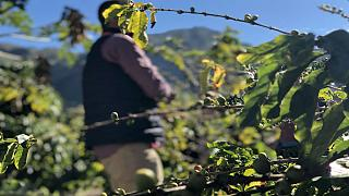 لوس کاستانیوس، تنها مزرعه قهوه اروپا