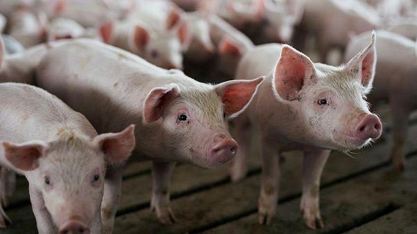 La peste porcina de Europa del Este amenaza todo el Continente
