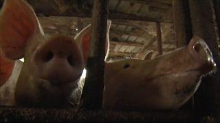 Болгария винит румынских туристов в заражении свиней