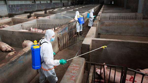 Fresh case of swine fever in Slovakia as eastern Europe scrambles to contain disease
