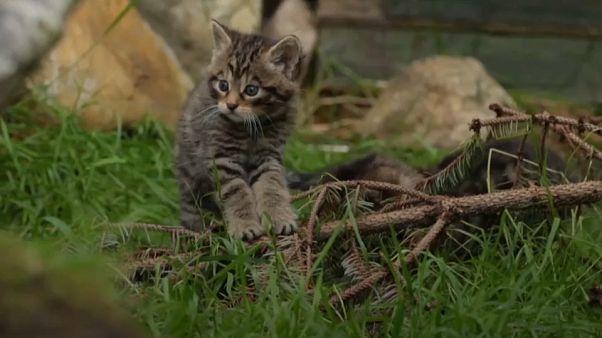 Screenshot AP - Scottish wildcat kitten