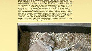 Schock im Zoo Leipzig: Löwenmutter frisst ihre Jungen