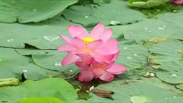 Naturwunder Lotussee