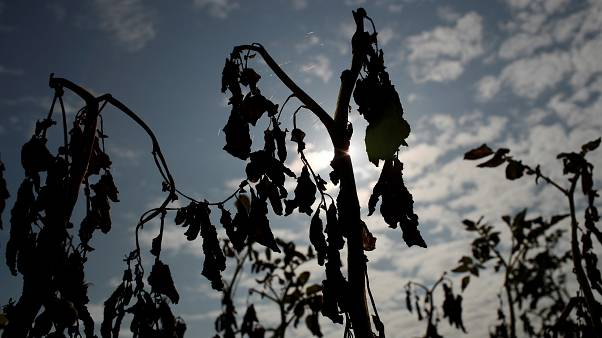 FILE PHOTO: View shows sun-dried tomato plant in Ressons-Le-Long, France, August 1, 2019.