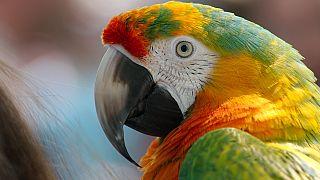 Yeni Zelanda: İnsan boyunda dünyanın en büyük papağanının fosili bulundu