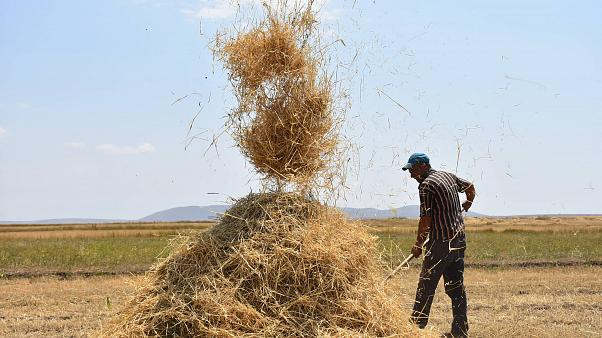 Türkiye'nin önemli tahıl üretim merkezlerinden Kars'ta, çiftçilerin sıcak havada buğday tarlalarındaki hasat mesaisi sürüyor.