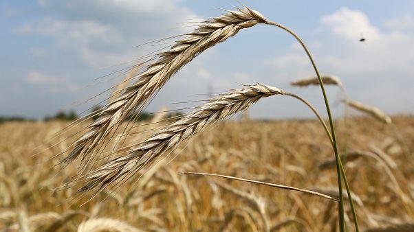 السعودية والإمارات تقدمان 540 ألف طن من القمح إلى السودان