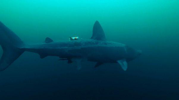 شاهد: روبوت خاص لإماطة اللثام عن لغز القرش الفرح