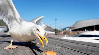 طائر النورس يتناول قطعة من الخبز في أوسلو يوم 24 يوليو تموز 2019