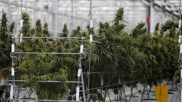 FILE PHOTO: Cannabis plants grow inside the Tilray factory hothouse in Cantanhede, Portugal