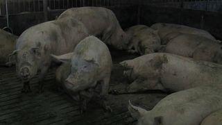 Comissão Europeia preocupada com Peste Suína Africana na Bulgária