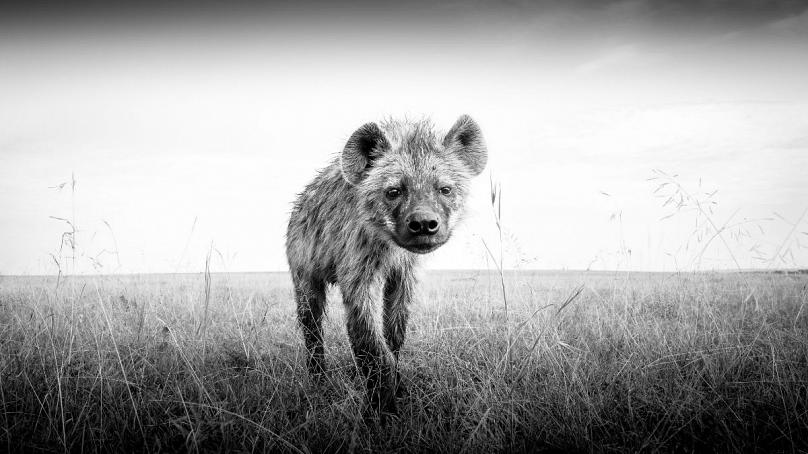 Young Hyena: Purdy Photography