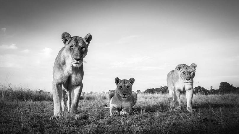 Marsh Lions: Purdy Photography