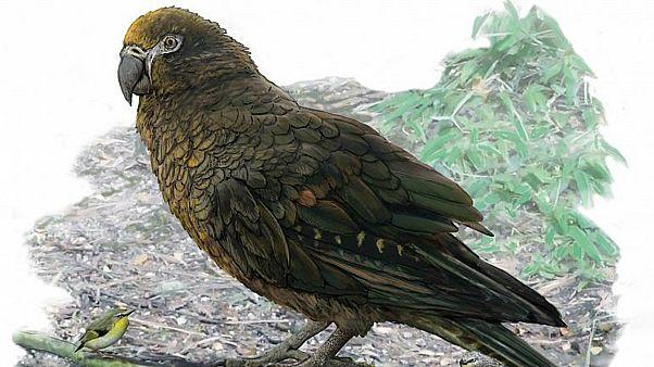 اكتشاف بقايا ببغاء عملاق عاش في نيوزيلاندا قبل 19 مليون عام
