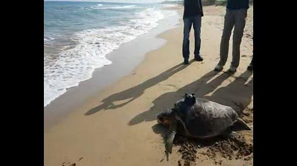 Eine Meeresschildkröte auf der Suche nach Romantik