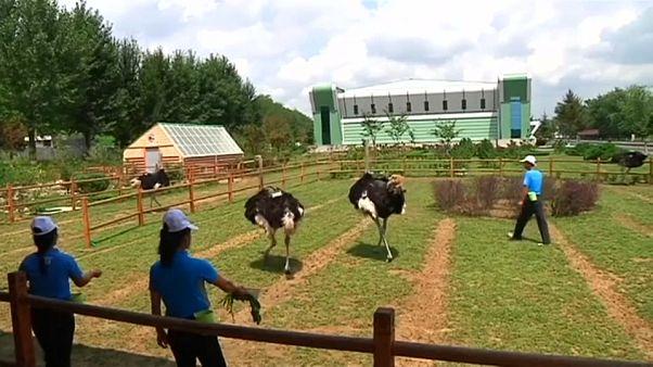 مزرعه پرورش شترمرغ در کرهشمالی بازگشایی شد