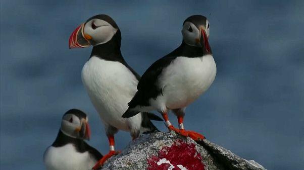 Papagaios-do-mar multiplicam-se em número recorde