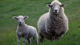 Schafe statt Rasenmäher: Tiere weiden auf ehemaligem Berliner Flughafen Tempelhof