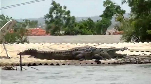 شاهد: تمساح يلجأ إلى سطح أحد البيوت في الهند بسبب الفيضانات القوية
