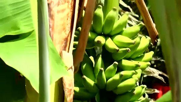 Végzetes betegség támadta meg a nagy banánültetvényeket