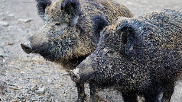 3 Jahre Haft: Züchter schmuggeln Wildschweinsperma in Shampoo-Flaschen