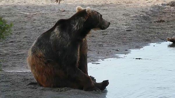 Éheznek a medvék a Kamcsatka-félszigeten