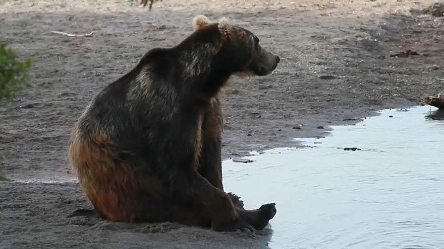 Osos hambrientos obligan a cerrar rutas turísticas en una reserva natural rusa