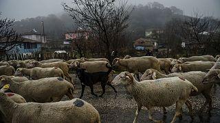 Çanakkale'de koyunlardaki veba salgını insanları etkiler mi? Uzmanlar değerlendiriyor