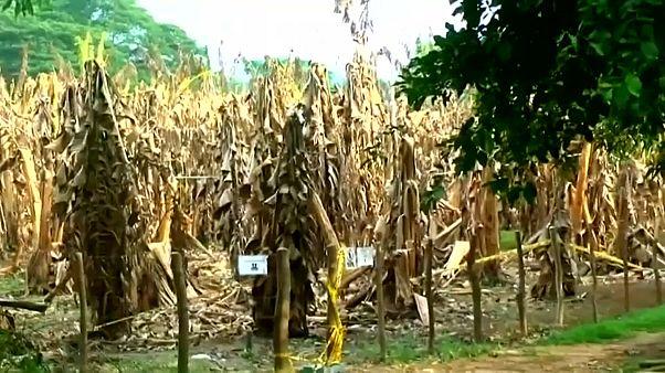 Braune Bananenstauden: In Kolumbien schlägt der Pilz zu