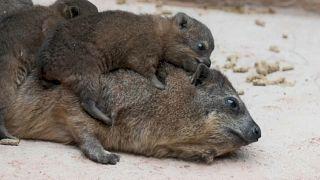 Зоопарк Честера обзавелся троицей даманов