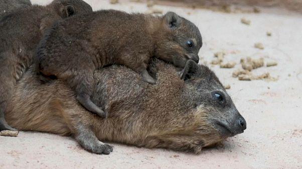 تولد سه قلوهای خرگوش کوهی-صخرهای در باغوحش چستر بریتانیا